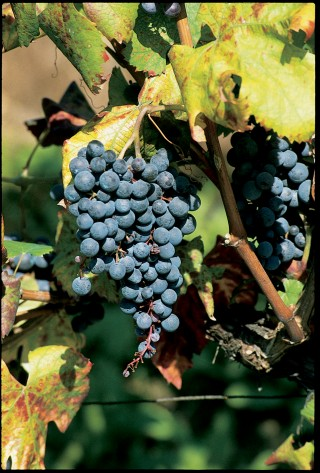 Piedmont red wines includes wine grapes on the vine