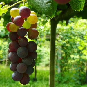 Red grapes - The Royal Road of Torinese Wines