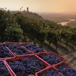 Wine grapes in the Langhe - by Davide Dutto