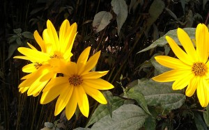 wild sage and 'topinambur' or Jerusalem artichoke plants…