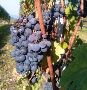 La Morra grapes