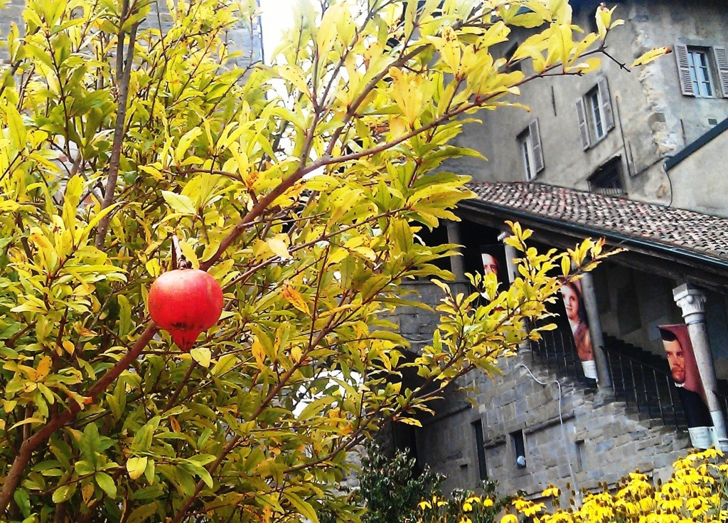 Pomegranate tree with house in background