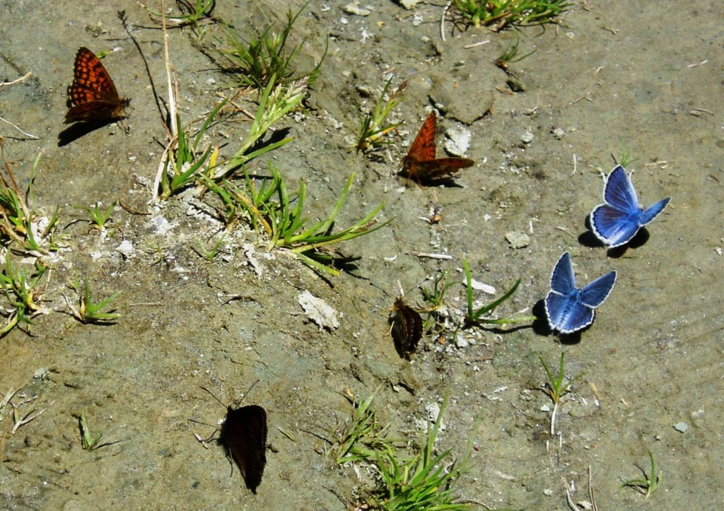 Butterflies during walk in Gran Paradiso National Park