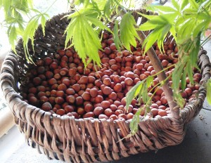 Basket of hazelnuts from the langhe make part of the langhe piedmont recipe