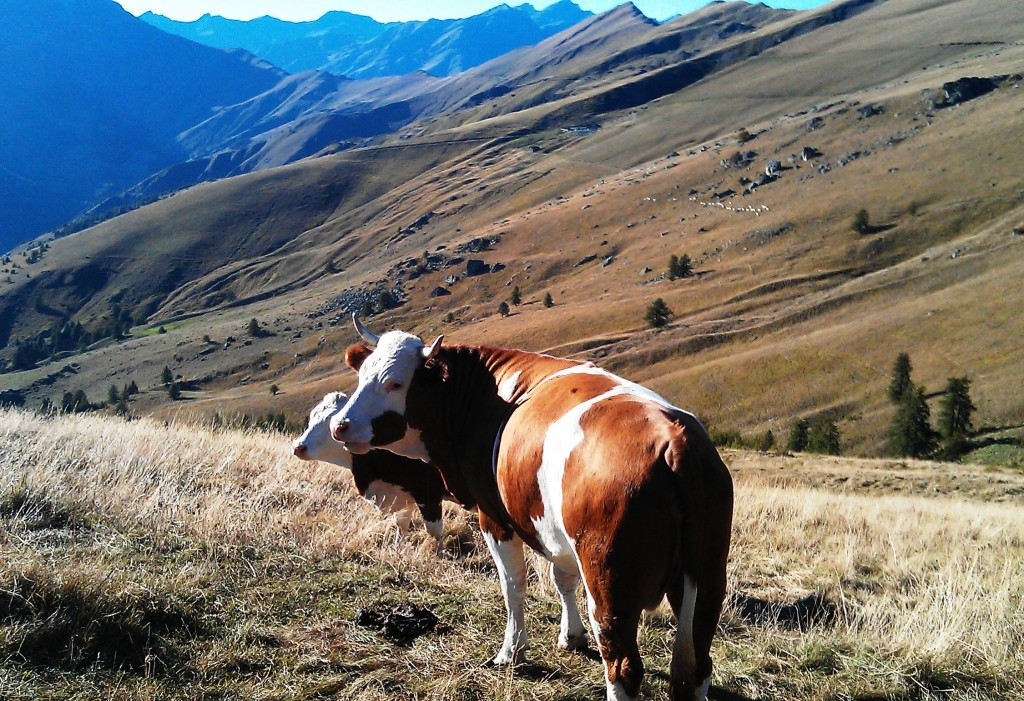 cows in the mountains of Val Maira, Piedmont