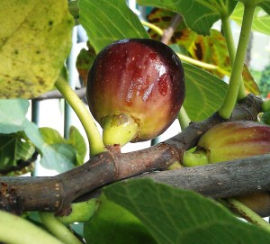 Fresh fig hanging from tree - another ingredient for the langhe piedmont recipe