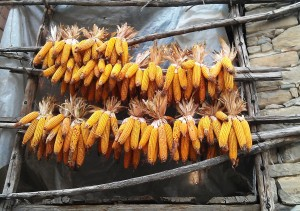Corn drying in Igliano