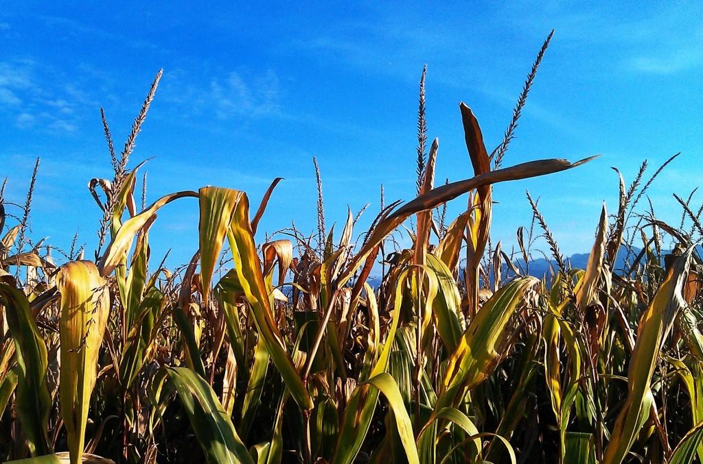 Corn field in Piemonte