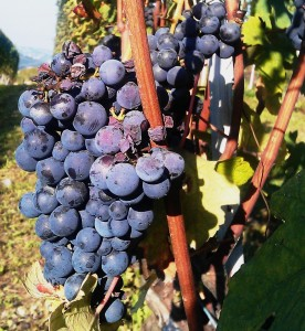 Barolo nebbiolo grapes on vines