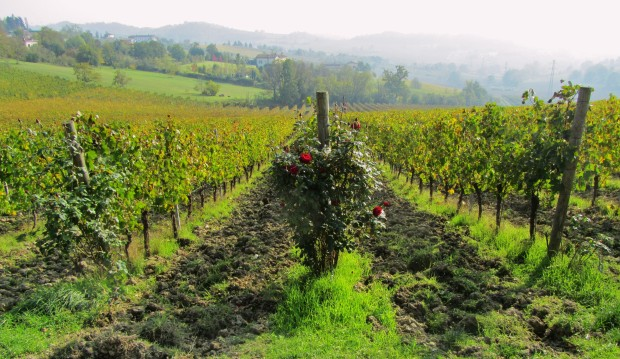 Piedmont wine vineyards with rose on end of vine