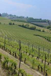 Nizza monferrato wine vineyards with rolling hills