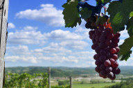 Asti wine vineyard scenic shot with grapes