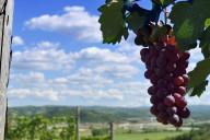 Asti wine vineyard scenic shot with grapes