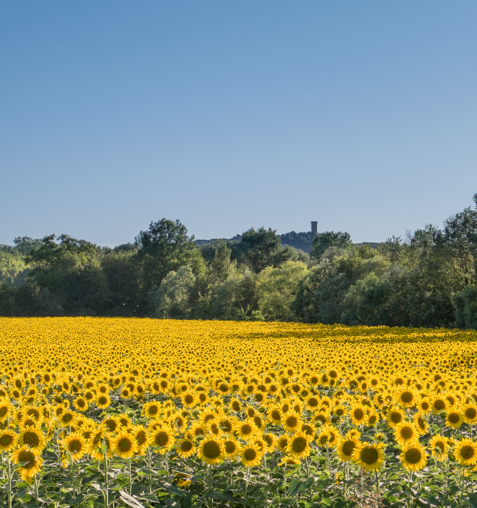 Monferrato with sunflower field