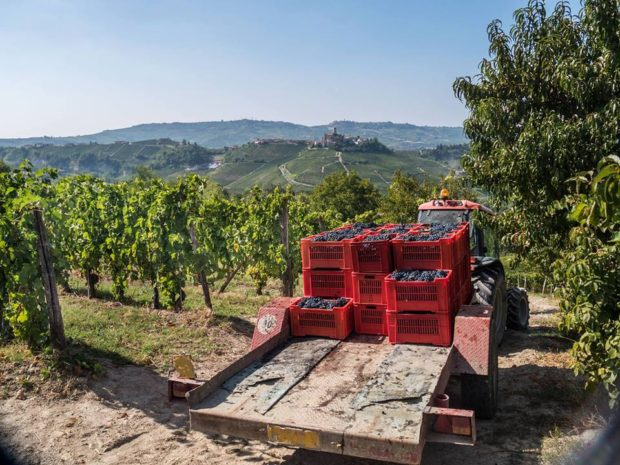Barolo wine vineyards with a small truck towing grapes in crates and Barolo village in the distance