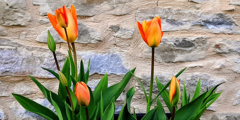Piedmont Home Concierge services includes garden maintenance - photo of orange and yellow tulips in the garden