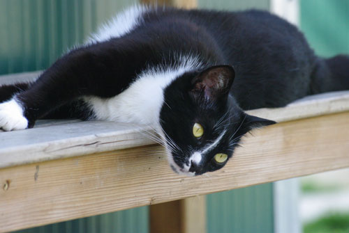 Amici di Zampa dog and cat refuge in Alba - black and white cat sitting on window ledge