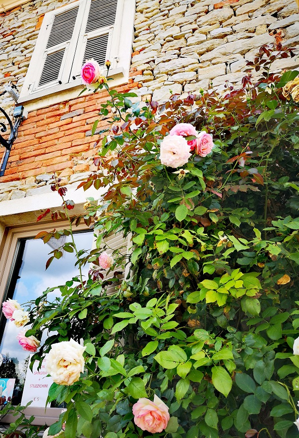 Pretty roses adorn the small village of Bossolasco in the Alta Langa