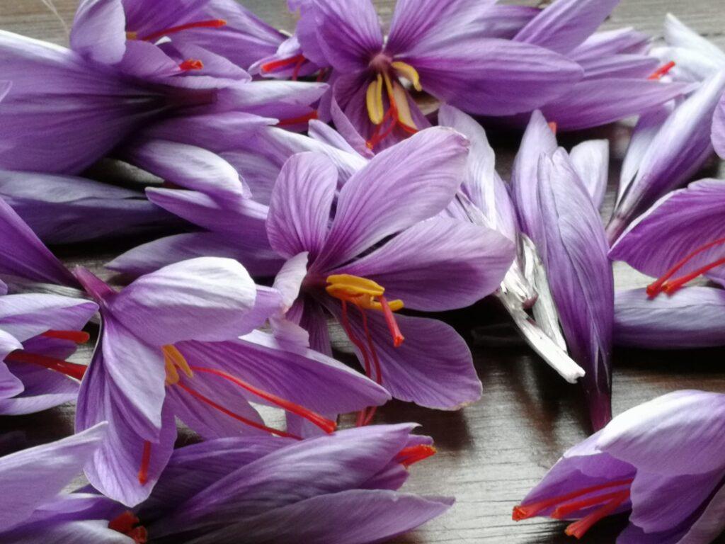 Saffron flowers showing red stigma